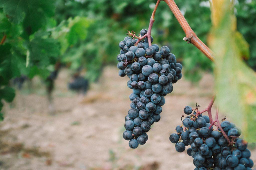 fresh grapes growing