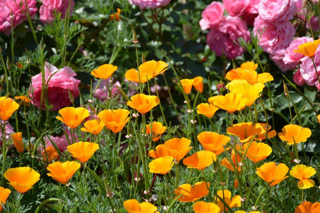 Image of California poppies