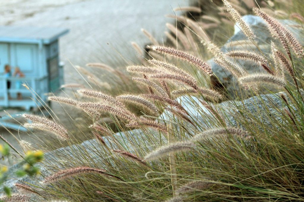 malibu beach grass with lifeguard station in background
