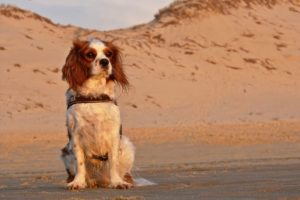 dog on beach with sand dune in background